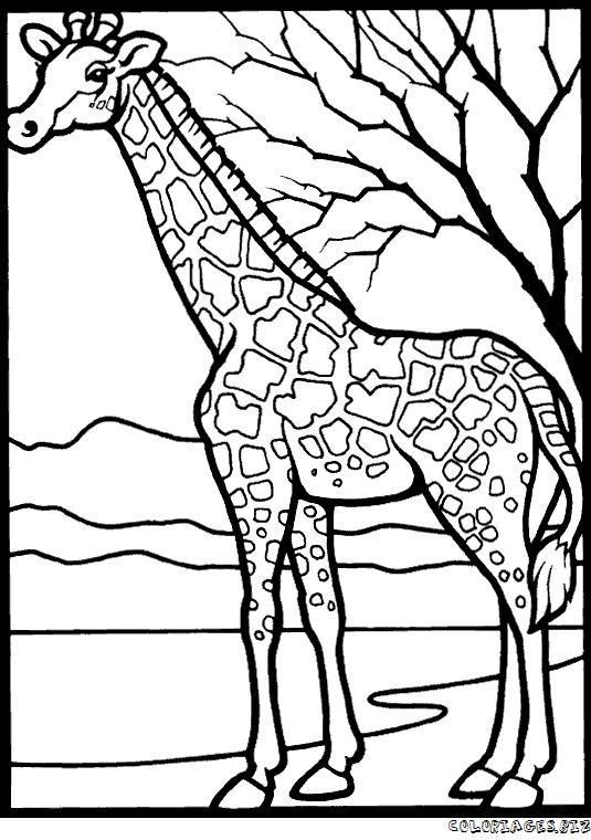 Girafe dessin afrique - Coloriage de girafe ...